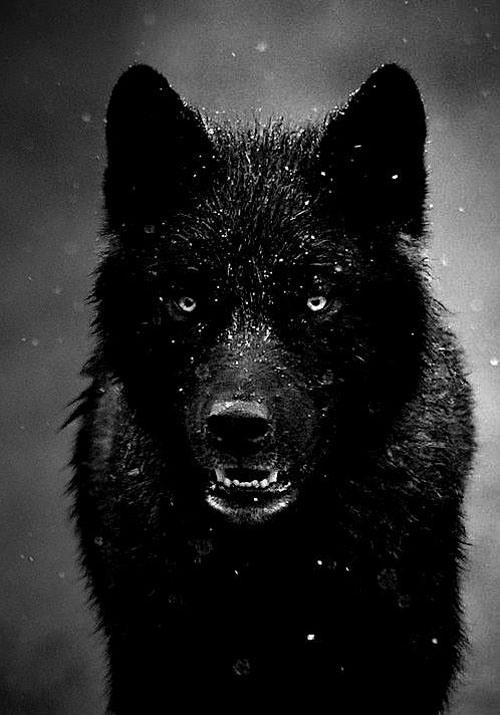 foxbearish