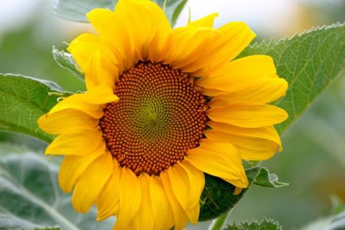 snflower